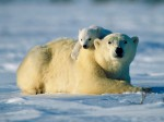at-snow-polar-bear-cub-hugging-mother-polar-bear-pictures-1600x1200