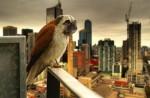 Mops + ptica =mopica