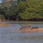 Jaguar proti aligatorju