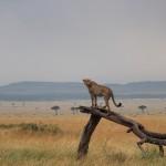 1280px-Cheetah_(Acinonyx_jubatus)_in_Maasai_Mara_2012-08A-wikimedia