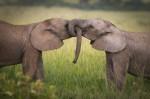 Sloni gojijo dosmrtne družinske vezi.