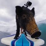 kama-surfing-pig-go-pro