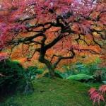 Japonski javor v Portlandu (ZDA).