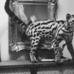 Ocelot who is house pet, standing on she