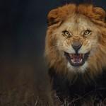 Lev tik pred napadom