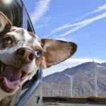 Psi, ki obožujejo vožnjo z avtomobilom.