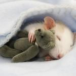 Kdo bi si mislil, da so podgane lahko tako prikupni hišni ljubljenčki.