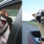 Psi, ki uživajo med vožnjo