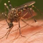 Komu komarji najbolj pijejo kri.