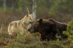 V divjini Finske se je razvilo nenavadno prijateljstvo med samico volka in samcem medveda.