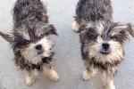 Ločite kateri je klon in kateri je pravi pes?