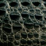Krokodilje olje