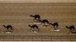 Dirka kamel v Al Marmounu, Dubaj, Združeni arabski Emirati