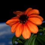 Prva roža v vesolju