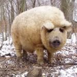 Prašič v ovčji preobleki, ki se obnaša kot pes.