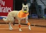 Psi v vlogi pobiralcev žogic