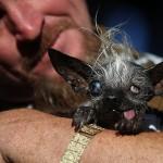 Tekmovanje za najgršega psa na svetu 2016