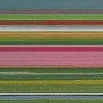 Nasadi tulipanov