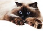 najdražje pasme mačk na svetu