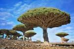 Dracaena cinnabari ali zmajevo drevo, Jemen