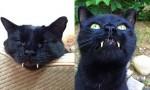 Maček Monkey z vampirskimi zobmi.