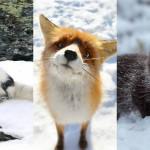 fotografije lisic