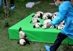 Mladič orjaške pande pade z odra med razstavo mladičev pande, rojenih v letu 2016. 29. september 2016, raziskovana baza Gian Panda Breeding v Chengdu, provinca Sečuan, Kitajska.