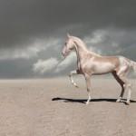 Konji Akhal teke