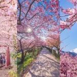 Cvetenje češenj v mestecu Kawazu