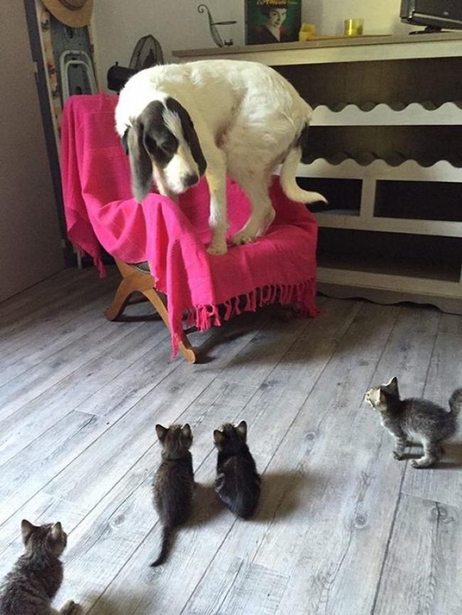 Kuža, ki je prvič videl mačje mladičke.