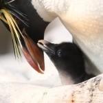 skalni pingvini