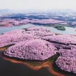 Najlepši prizor na svetu: na Kitajskem zacvetele češnje