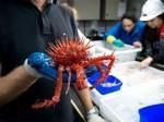 Rdeča bodljikava rakovica (angl. Red Spiny Crab) ima bodljikave špice, ki so njeno orožje – z njim se zavaruje pred globinami morja. Ta rakovica v resnici ni živalska rakovica, temveč rastlinska.