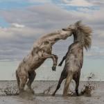 'Stallions Playing'.