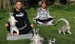 Lemoga, joga z lemurji je nov odštekan način sprostitve