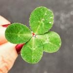 4-peresna detelica prinaša srečo: kaj pomeni, če najdeš detelico z več listi?